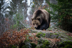 Brown Bear. In Autumn Woods was photographed in November at the Bavarian national Park in Germany. This is a great place to see wild animals without cages or Stock Images