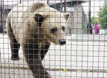 Brown bear in aviary,Safari Park Taigan, Crimea Royalty Free Stock Photography