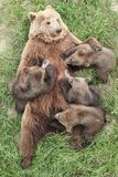 Brown bear with babies Royalty Free Stock Photo