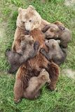 Brown bear with babies Royalty Free Stock Photography