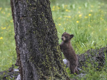 Brown Bear. Baby Bear standing on his hind legs by the tree; Yellowstone National Park Stock Images