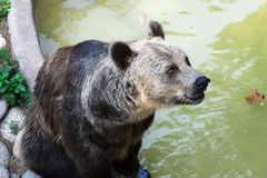 A brown bear Stock Photos