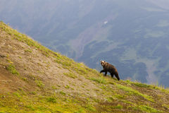 Brown bear on the background the volcano. Stock Photos