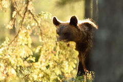 Brown bear in backlit in summer. Stock Photos