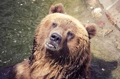 The brown bear is bathed in water, portrait of a bear, animals in captivity royalty free stock image