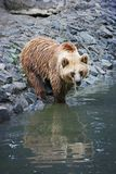 Brown bear bathing. Brown bear entering water, Timisoara Zoo, Romania Royalty Free Stock Photo