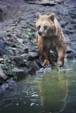 Brown bear bathing Stock Photos