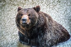 Brown bear bathing in a lake while raining stock photography