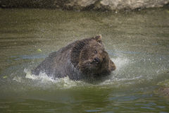 Brown bear bathing Royalty Free Stock Photo