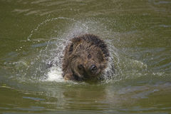 Brown bear bathing Royalty Free Stock Photos