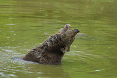 Brown bear bathing Royalty Free Stock Image