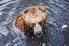 Brown bear bathing. Brown bear in water, Timisoara Zoo, Romania Royalty Free Stock Images