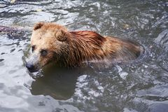Brown bear bathing. Brown bear in water, Timisoara Zoo, Romania Royalty Free Stock Photo