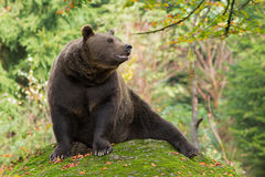 Brown Bear in the Bavarian forest. Royalty Free Stock Image