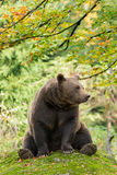 Brown Bear in the Bavarian forest. Brown Bear in the Bavarian forest sitting on a rock Stock Photos