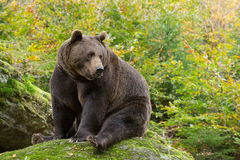 Brown Bear in the Bavarian forest. Brown Bear in the Bavarian forest sitting on a rock Royalty Free Stock Photos