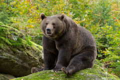 Brown Bear in the Bavarian forest. Brown Bear in the Bavarian forest sitting on a rock Stock Image