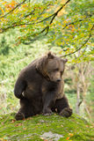Brown Bear in the Bavarian forest. Stock Images