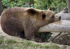Brown bear on the beam 1 Royalty Free Stock Photography