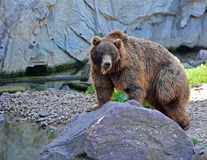 A brown bear in Bear sits on a rock. Ursus arctos. A Bear sits on a rock stock photos