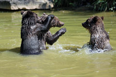 Brown bear. 3 Bearbaby standing in the Water Royalty Free Stock Photos