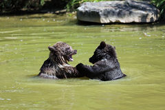 Brown bear. 2 Bearbaby standing in the Water Royalty Free Stock Image