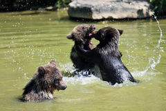 Brown bear. 3 Bearbaby standing in the Water Royalty Free Stock Images
