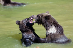 Brown bear. 2 Bearbaby standing in the Water Royalty Free Stock Images