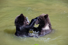 Brown bear. 2 Bearbaby standing in the Water Stock Images
