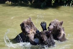 Brown bear. 3 Bearbaby standing in the Water Stock Photography