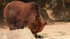 Brown bear stock video
