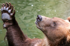 Brown bear begging for food. Funny brown bear begging for food or greeting someone Royalty Free Stock Photography