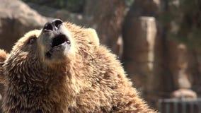 Brown bear begging for food