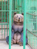 Brown bear behind bars in a cage Stock Photography