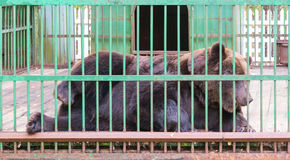 Brown bear behind bars in a cage Stock Images