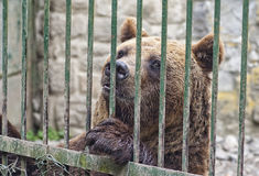 Brown bear behind bars Royalty Free Stock Image