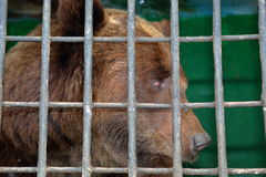 Brown bear behind bars in a zoo cage Royalty Free Stock Photography