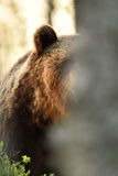Brown bear behind a tree Stock Photo