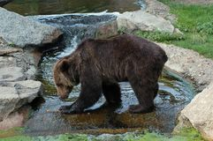 Brown bear at the Berlin zoo. A brown bear of the Berlin zoo Royalty Free Stock Image
