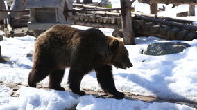 Brown bear in a big enclosure stock footage
