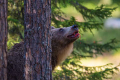 Brown bear with blood in Finland forest Stock Photography