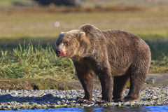 Brown bear boar with bloody snout. Bloody snout on brown bear Royalty Free Stock Images