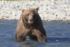 Brown bear boar looking directly at photographer Stock Photography