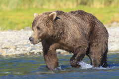 Brown bear boar looking for salmon. Brown bear looking for fish Stock Photo