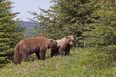 Brown Bear boar and sow Royalty Free Stock Photos