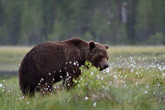 Brown bear in bog with blossoming grass Royalty Free Stock Photos