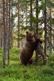 Brown bear breaks a tree. Royalty Free Stock Image