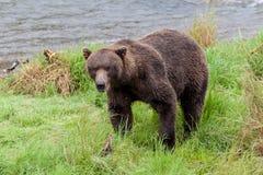 Brown bear at Brooks Falls Stock Photo