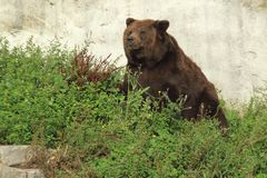 Brown bear. Sitting in the grass Royalty Free Stock Images