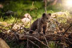 Brown Bear on Brown Wood stock image